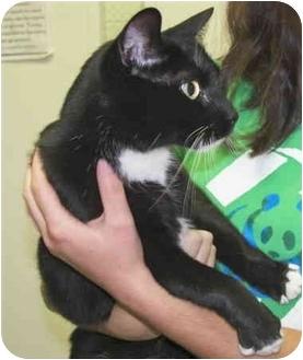 Domestic Shorthair Cat for adoption in North Wilkesboro, North Carolina - Tucks