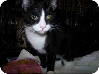 Domestic Shorthair Cat for adoption in Shelbyville, Kentucky - Walker