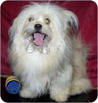 Pomeranian/Shih Tzu Mix Dog for adoption in Meadow Lake, Saskatchewan - Bandit