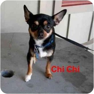 Chihuahua Dog for adoption in Slidell, Louisiana - Chi Chi
