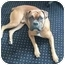 Photo 1 - Boxer Dog for adoption in Middlesex, New Jersey - Jake