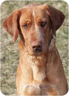 Golden Retriever Mix Dog for adoption in Ladysmith, Wisconsin - D0979