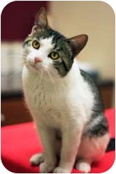Domestic Shorthair Cat for adoption in Chicago, Illinois - Tazzy