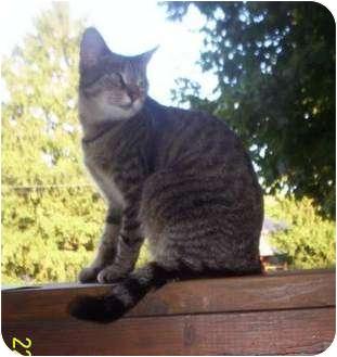 American Shorthair Cat for adoption in McArthur, Ohio - LITTLE BIT