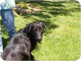 Labrador Retriever Mix Dog for adoption in El Cajon, California - Magnum