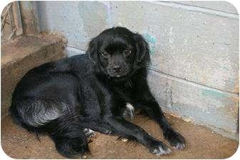 Pekingese Mix Dog for adoption in West Hartford, Connecticut - Baby