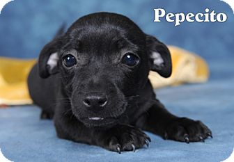 Chihuahua Mix Puppy for adoption in Broadway, New Jersey - Pepesito