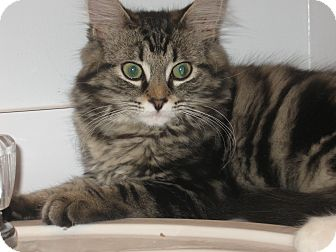 Domestic Longhair Kitten for adoption in Speonk, New York - Paxton