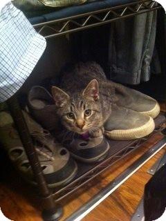 Domestic Shorthair Kitten for adoption in Douglas, Ontario - Henry