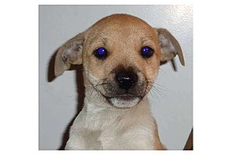 Jack Russell Terrier Mix Puppy for adoption in Pompton Lakes, New Jersey - Ted