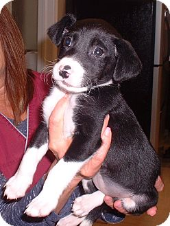 Border Collie/Labrador Retriever Mix Puppy for adoption in Sterling, Kansas - Minnie Tipperou