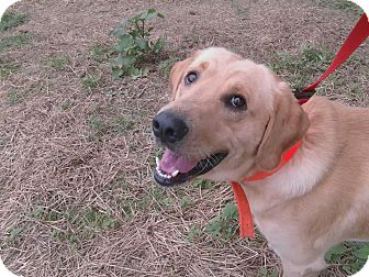 Labrador Retriever Dog for adoption in Harrisburgh, Pennsylvania - Dorsett