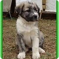 Adopt A Pet :: Lilliana - Staunton, VA