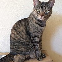 Domestic Shorthair Cat for adoption in Fremont, California - Dolly 09-3831