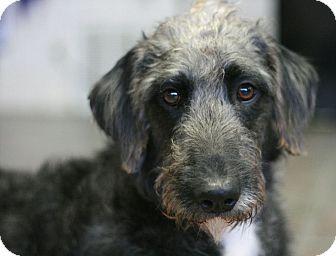 Irish Wolfhound Mix Dog for adoption in Canoga Park, California - Trudy