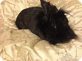 Lionhead Mix for adoption in Watauga, Texas - Shadow