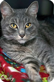 Domestic Shorthair Cat for adoption in Manahawkin, New Jersey - Daisy