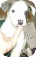 American Bulldog/Boxer Mix Puppy for adoption in Upper Marlboro, Maryland - ITALIA