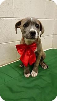 American Pit Bull Terrier Mix Puppy for adoption in Lexington, North Carolina - Marie Antoinette