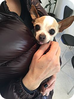 Chihuahua Dog for adoption in Los Angeles, California - Chicken the teacup chi