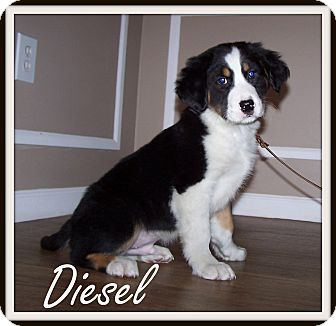 Cattle Dog/Border Collie Mix Puppy for adoption in Milford, New Jersey - Diesel