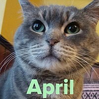 Domestic Shorthair Cat for adoption in Grand Blanc, Michigan - April