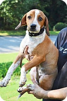 Hound (Unknown Type)/Pointer Mix Puppy for adoption in Acworth, Georgia - Ricky - Lucy Litter