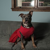 American Pit Bull Terrier/Rottweiler Mix Dog for adoption in Smithtown, New York - Liberty