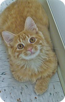 Domestic Mediumhair Cat for adoption in Chambersburg, Pennsylvania - Gouda
