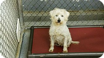 Terrier (Unknown Type, Small)/Petit Basset Griffon Vendeen Mix Dog for adoption in Kenansville, North Carolina - MILO