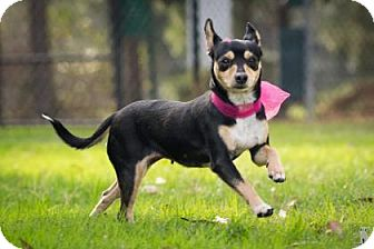 Miniature Pinscher/Chihuahua Mix Dog for adoption in boston, Massachusetts - Gypsy