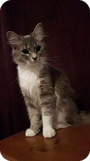 Domestic Mediumhair Cat for adoption in Lindsay, Ontario - Missy