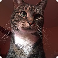 American Shorthair Cat for adoption in Rochester, New York - Princess