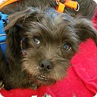 Adopt A Pet :: EIFFEL BON - Phoenix, AZ