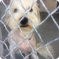 Adopt A Pet :: Ivory - Encino, CA