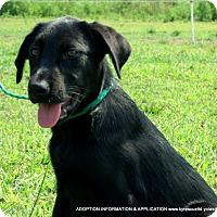 Shepherd (Unknown Type)/Labrador Retriever Mix Puppy for adoption in PRINCETON, Kentucky - Hunter