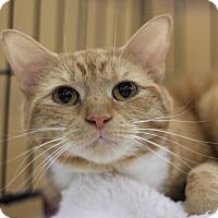Domestic Shorthair Cat for adoption in Richmond, Virginia - Riva