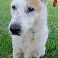 Adopt A Pet :: Callie - Georgetown, TX
