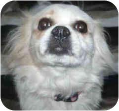 Papillon Mix Dog for adoption in San Clemente, California - JILLY BEAN