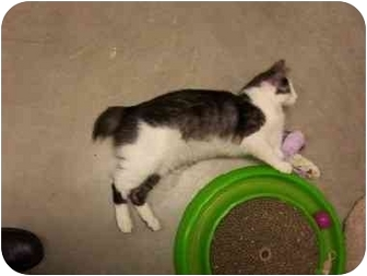 Manx Kitten for adoption in San Diego/North County, California - Bob