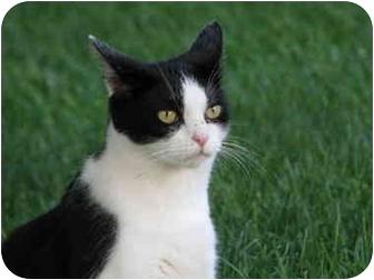 Domestic Shorthair Cat for adoption in Maxwelton, West Virginia - GOOGLES