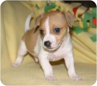 Jack Russell Terrier/Fox Terrier (Toy) Mix Puppy for adoption in Santa Ana, California - Dutch
