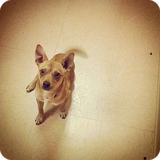 Terrier (Unknown Type, Small)/Chihuahua Mix Dog for adoption in Gig Harbor, Washington - Lucy