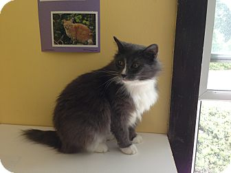 Domestic Longhair Cat for adoption in Lancaster, Massachusetts - Smokey