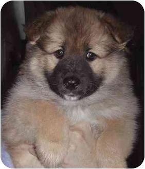 Norwegian Elkhound/Siberian Husky Mix Puppy for adoption in El Segundo, California - Tiny Bit