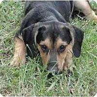 Adopt A Pet :: Aristo - Glastonbury, CT