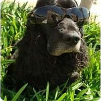 Adopt A Pet :: Chester - Sugarland, TX