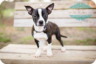 Boston Terrier/Chihuahua Mix Puppy for adoption in Greensboro, North Carolina - Lola