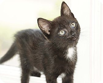 Domestic Shorthair Kitten for adoption in Berlin, Connecticut - Raven