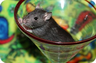 Rat for adoption in Austin, Texas - Twinkle